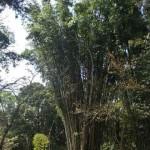 Bambous géants!