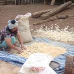 Récupération des grains de mais
