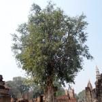 Ficus sacré!