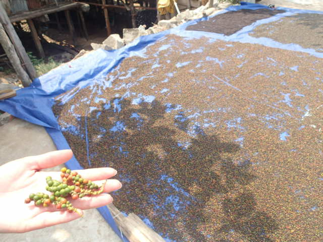 Poivres en train de sécher au soleil
