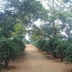 Plantation de thé sur le plateau des bolovens