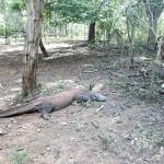Varan mâle de 3m de long
