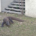 Dragon de Komodo (varan carnivore géant