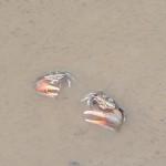 Crabes avec une seule grosse pince rouge en plein combat