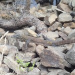 Jeune Komodo fondu dans la nature