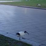 Ibis dans les rues de Sydney