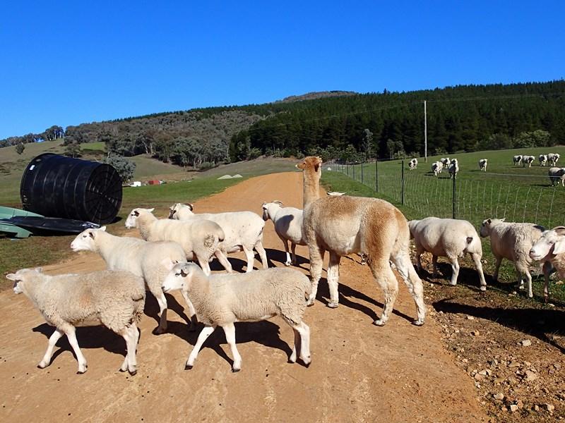 Lama qui sert à protéger les moutons des attaques de chiens sauvages