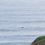 Baleines au large des 12 Apôtres!