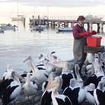 Heure du repas pour les pélicans de l'île