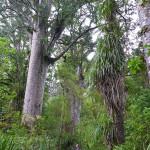 Forêt de Kauri, Waipoua Forest