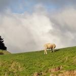 Où est passée la tête de ce mouton?