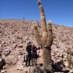 Cactus qui pousse de 10 cm par an