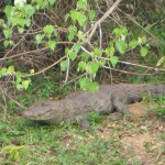 Crocodile sur les berges