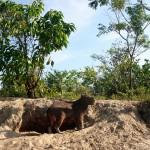 Capibara, plus gros rongeur au monde