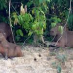 Famille de capibaras