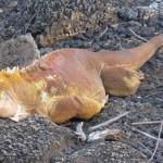 Iguane terreste reconnaissable à sa couleur jaune