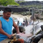 Otarie et pélican intéréssés par la marchandise du poissonnier