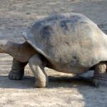 """Race de tortue terrestre géante à carapace """"ronde"""""""