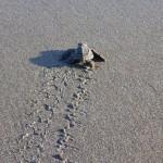 Premiers pas en direction de l'océan de bébés tortues qui venaient de naitre